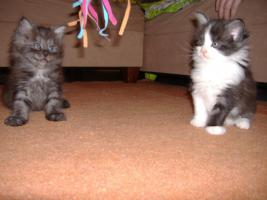 5 Reinrassige Maine Coon kitten