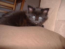 Foto 3 5 Reinrassige Maine Coon kitten
