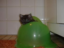 Foto 4 5 Reinrassige Maine Coon kitten