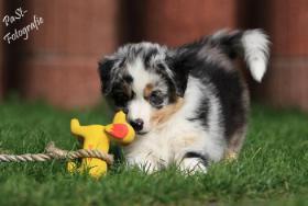 5 Süße Australian Shepherd Welpen suchen ein neues zu Hause