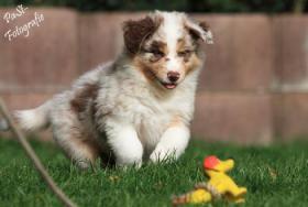 Foto 3 5 Süße Australian Shepherd Welpen suchen ein neues zu Hause
