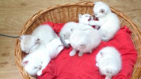 5 Süße Britisch Kurzhaar Kitten!!!!!!!