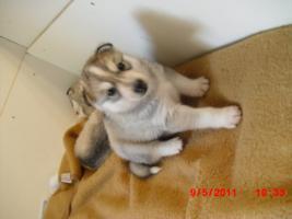 Foto 2 5 Süße Sibirien Huskys suchen bald ein zuhause!!!