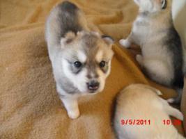 Foto 3 5 Süße Sibirien Huskys suchen bald ein zuhause!!!