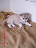 Foto 4 5 Süße Sibirien Huskys suchen bald ein zuhause!!!