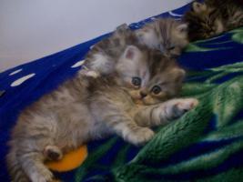 Foto 3 5 Süße kleine Perserbabys