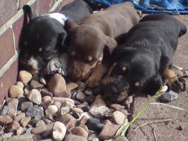 Foto 4 5 Welpen suchen ein neues zu Hause