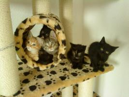 5 Zucker süße main coon mix kitten dürfen ende Juni umziehen