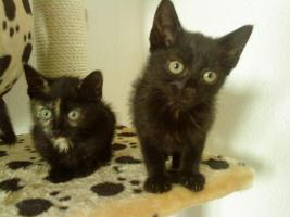Foto 2 5 Zucker süße main coon mix kitten dürfen ende Juni umziehen
