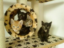 Foto 3 5 Zucker süße main coon mix kitten dürfen ende Juni umziehen