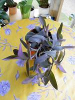 5 aparte tiefpurpurviolette Jungpflanzen von Setcreasea-Rotblatt
