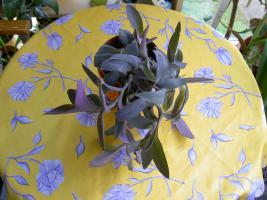 Foto 2 5 aparte tiefpurpurviolette Jungpflanzen von Setcreasea-Rotblatt