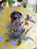 Foto 3 5 aparte tiefpurpurviolette Jungpflanzen von Setcreasea-Rotblatt