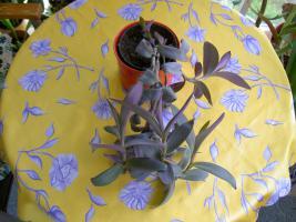 Foto 4 5 aparte tiefpurpurviolette Jungpflanzen von Setcreasea-Rotblatt