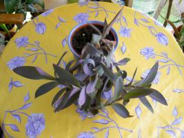 Foto 5 5 aparte tiefpurpurviolette Jungpflanzen von Setcreasea-Rotblatt