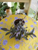 Foto 6 5 aparte tiefpurpurviolette Jungpflanzen von Setcreasea-Rotblatt