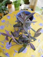 Foto 7 5 aparte tiefpurpurviolette Jungpflanzen von Setcreasea-Rotblatt