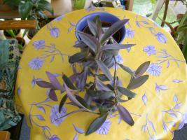 Foto 8 5 aparte tiefpurpurviolette Jungpflanzen von Setcreasea-Rotblatt