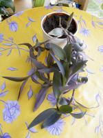 Foto 9 5 aparte tiefpurpurviolette Jungpflanzen von Setcreasea-Rotblatt