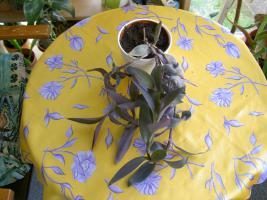 Foto 10 5 aparte tiefpurpurviolette Jungpflanzen von Setcreasea-Rotblatt