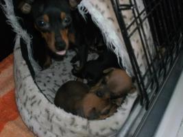 5 kleine Prager Rattler Welpen suchen ab sofort ein neues Zuhause