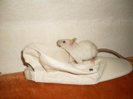 5 kleine siam rex ratten böckchen suchen neues Heim