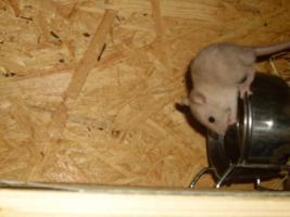 Foto 2 5 kleine siam rex ratten böckchen suchen neues Heim