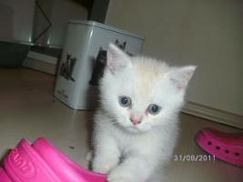5 reinrassige BKH Kitten suchen.............................