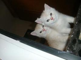 Foto 2 5 reinrassige BKH Kitten suchen.............................