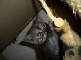 Foto 3 5 reinrassige BKH Kitten suchen.............................
