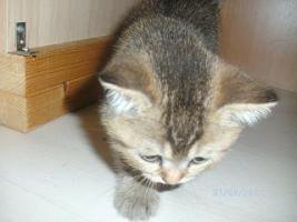 Foto 4 5 reinrassige BKH Kitten suchen.............................
