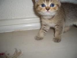 Foto 5 5 reinrassige BKH Kitten suchen.............................