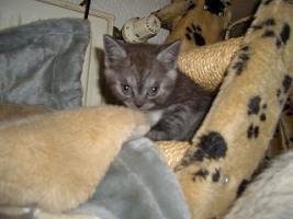 Foto 7 5 reinrassige BKH Kitten suchen.............................