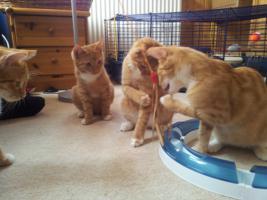 Foto 3 5 rote kleine Feger (Kater ca. 4 Monate) su. liebevolles zu Hause