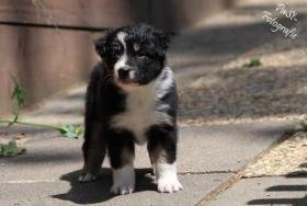 Foto 5 5 s��e Australian Shepherd Welpen suchen ein neues zu Hause