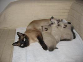 5 süße Reinrassige, Thai Siam Katzen Baby,