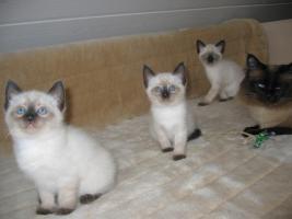 Foto 2 5 süße Reinrassige, Thai Siam Katzen Baby,