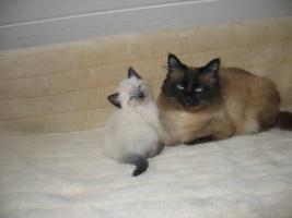 Foto 3 5 süße Reinrassige, Thai Siam Katzen Baby,