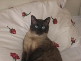 Foto 6 5 süße reinrassige Thai (Siam)-Kitten suchen neue Dosenöffner