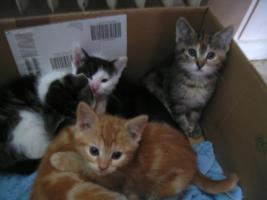 5 wunderschöne Katzenbabys ab sofort abzugeben