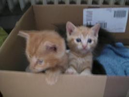 Foto 2 5 wunderschöne Katzenbabys ab sofort abzugeben