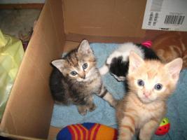 Foto 5 5 wunderschöne Katzenbabys ab sofort abzugeben