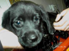 5 wunderschöne Labradormischlingswelpen  in LIEBEVOLLE Hände abzugeben