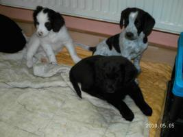 Foto 2 5 wunderschöne Labradormischlingswelpen  in LIEBEVOLLE Hände abzugeben