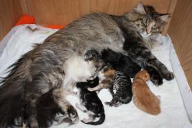 5 wunderschöne Norweger Kitten