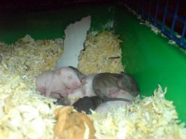 50169 Rattenbaby suchen neues zuhause
