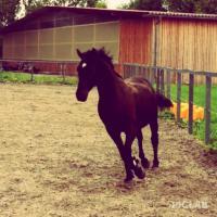 5,5jähriger Andalusier sucht erfahrenen Reiter