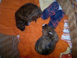 Foto 5 6 Boxermischlinge- Welpen, 2 Weibchen, 4 Rüden zu verkaufen!