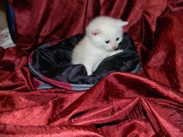 Foto 6 6 Süße BKH Kitten in den Farben cameo und tabby