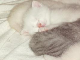 Foto 7 6 Süße BKH Kitten in den Farben cameo und tabby